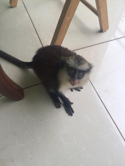 Sweet baby vervet monkey for sale (915) 229-4890