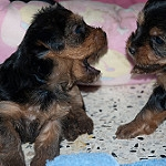 Top Quality Yorkshire Terrier Puppies Available !