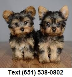 Tiny Teacup Yorkshire Terrier Puppies for sale!