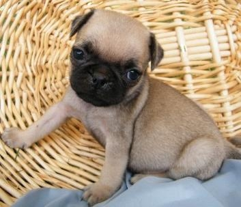 California Gorgeous Pedigree Pug Puppies For Sale : Pets and